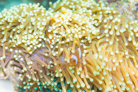 amphiprion: Nemo fish in front of their anemone home. Anemonefish in Andaman Sea, Lipe island, Thailand. Stock Photo