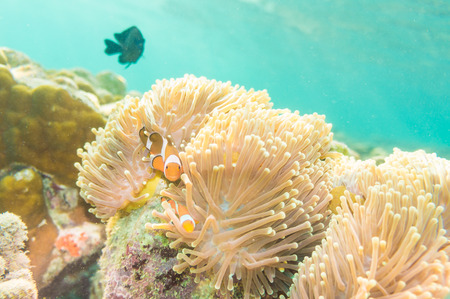 percula: Clown Anemonefish, Amphiprion percula, swimming among the tentacles of its anemone home. Lipe island, Satun Thailand