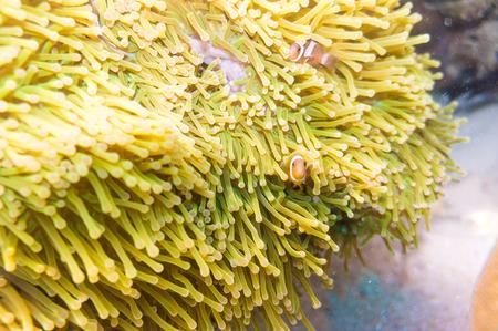 nemo: Nemo fish with host anemone, Clown Anemonefish