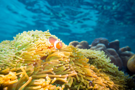 clown fish: Nemo fish with host anemone, Clown Anemonefish