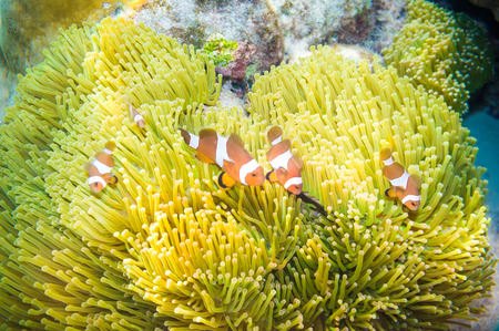 clown anemonefish: Nemo fish with host anemone, Clown Anemonefish