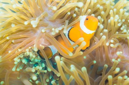 nemo: Clown fish Nemo at anemone reef tree, Close up nature