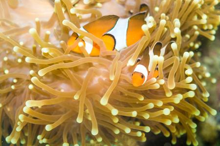 ocellaris clownfish: Clown fish Nemo at anemone reef tree, Close up nature