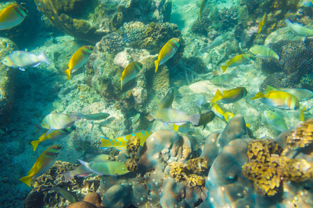 madreporaria: coral reef with shoal of french grunt fish and hard corals at Koh tao, Thailand Stock Photo