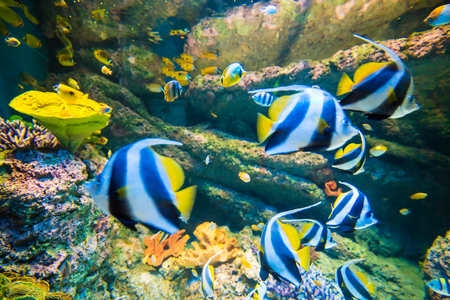 idol: Underwater image of coral reef with Moorish idol at S.E.A. Singapore