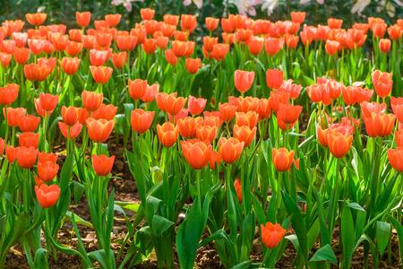 tulipan: Czerwone tulipany kwitnące wiosną w ogrodzie, Naturalne tło Zdjęcie Seryjne