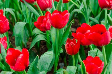 red tulip: Beautiful red tulip blossom in garden
