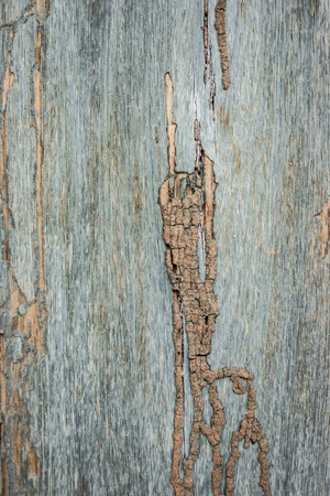 drywood: Termite track on wooden wall, texture of the old spoiled wood.