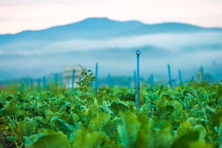 morning sky: Tobacco field under morning sky, Agricultural scene Archivio Fotografico