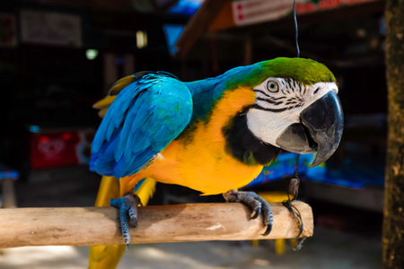 ararauna: The colorful of macaws, Blue-and-yellow macaw, Ara ararauna