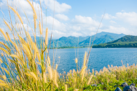 fluffy tuft: Awn of reed flower at dam with blue sky white cloud