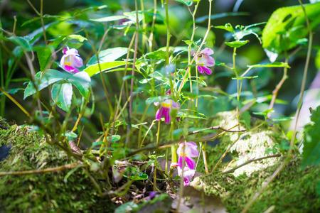 strange mountain: Parrot flowers of chaingmai, Thailand. Impatiens psittacina. Stock Photo