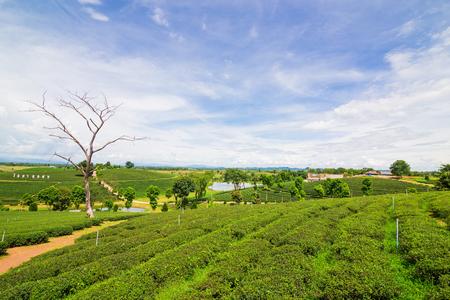 cropland: Terrace of green tea fileds blue sky