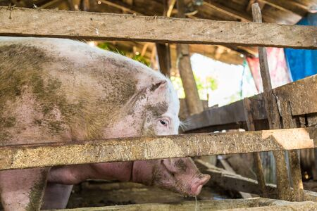 landrace: Feeds of pig in traditional farm build with wood and cement Stock Photo