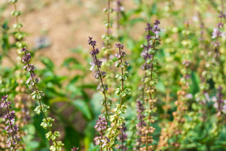 sanctum: Basil field with flowers herb for aromatherapy, Ocimum sanctum flower Stock Photo