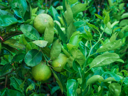 florida citrus: Fresh limes fruit hanging on a tree, Close up