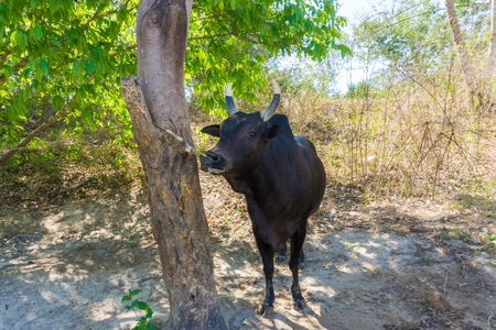 mechanization: Traditional Thail cow,  traditional agriculture Stock Photo