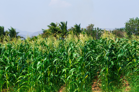 dirtied: Background of corn field in Thailand