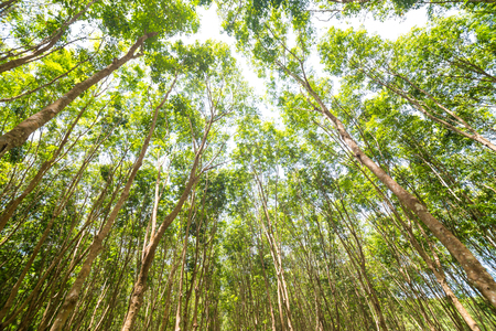 caoutchouc: Rubber tree agricultural background, Green leaves many branch