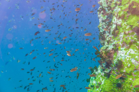 tao: Coral reef and fish underwater at south west pinnacle Koh tao, Thailand