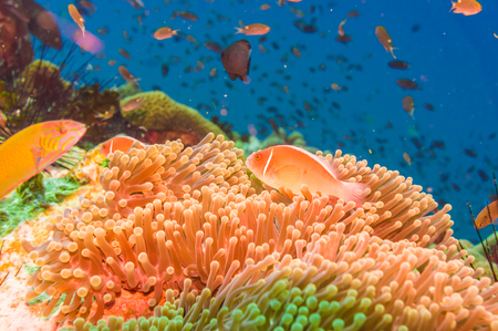 deep south: Coral reef and fish underwater at south west pinnacle Koh tao, Thailand
