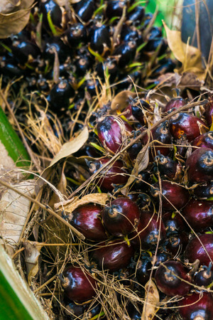 bio diesel: Tropical plant for bio diesel production and Palm oil for food ingredient, Palm Oil Fruits Stock Photo