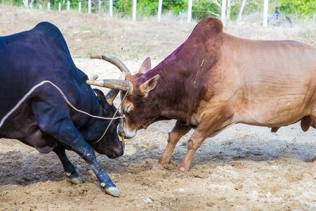 breeders: Traditional cow charges into another fighting on game of the bull in Thailand