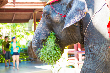 animal body part: Close up of an african elephants trunk holding green leaves, Visitor feeding the elephant