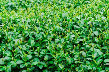 agricultural industry: Green tea leaves in a tea plantation. Agricultural industry