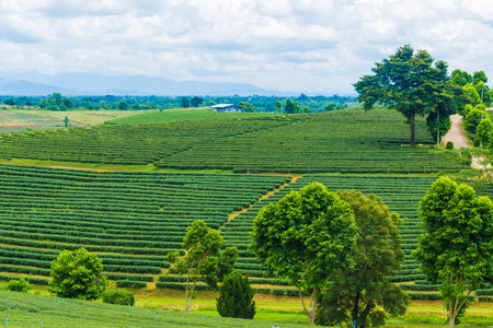 agricultural industry: Tea plantation on mountain with blue sky, Agricultural industry Stock Photo