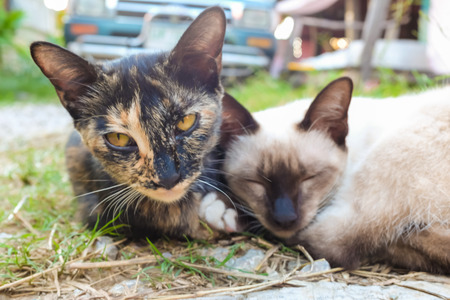 soulmate: Couple of traditional cat lying on green grass street.