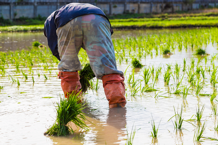 Tradition Thai farmer working in the rice plantation farm, paddy seedling Stock Photo
