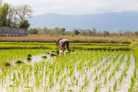 allepey: Tradition Thai farmer working in the rice plantation farm, paddy seedling Stock Photo