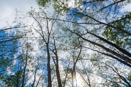dankness: Rubber plantation branch up risen view blue sky