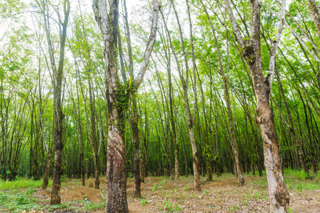 agricultural industry: Agricultural industry row of  rubber plantation tree background.