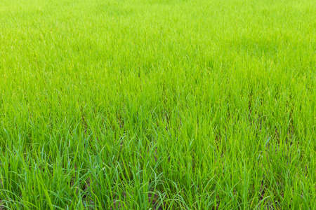 agricultural industry: Background of green paddy rice field, Agricultural industry