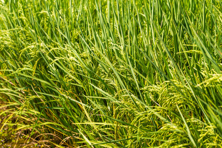 crop margins: Green rice in the field rice background close up before harvest Stock Photo