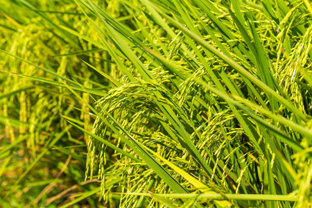 Green rice in the field rice background close up before harvest Stock Photo