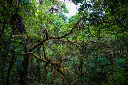 daintree: Rainforest greenery scene on Chiangdao mountain, Thailand