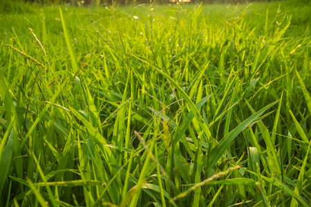 botanic: Green nature botanic fresh grass background, Green field background