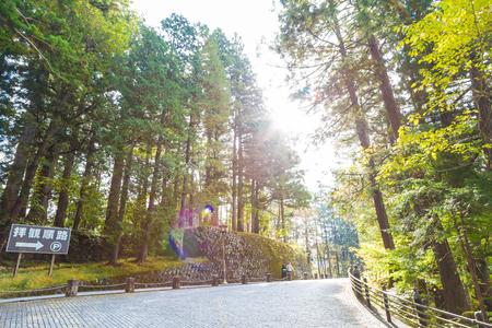 momiji: Walks around pine tree in the Nikko, Tochigi, JApan
