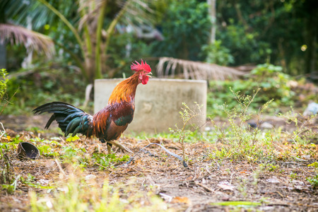 dominant: Traditional Thailand rooster on field in morning, Agricultural