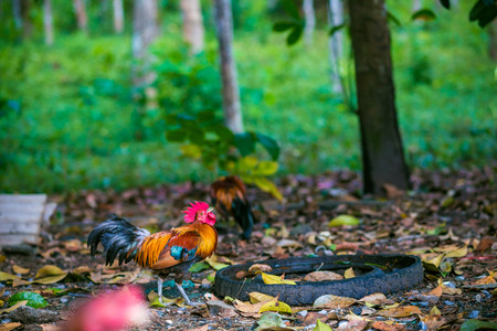 Traditional Thailand rooster on field in morning, Agricultural