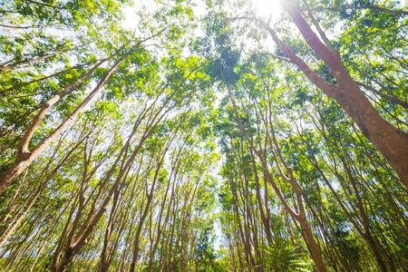Gummibaumhintergrund im tiefen Wald, Agrisultural von Thailand Standard-Bild