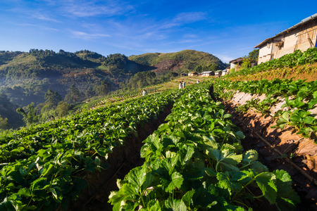 Strawberry Field on agricultural hill in Chiangmai North of Thailand