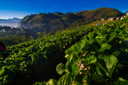 Strawberry field in morning with fog hill of mountain, Agricultural industry