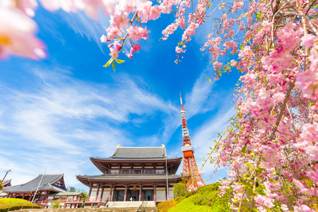 Blooming sakura flower cherry blossom in Zojoji temple with tokyo tower, Japan
