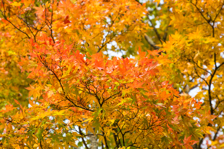 Red and yellow maple leaf background, Fall season environment