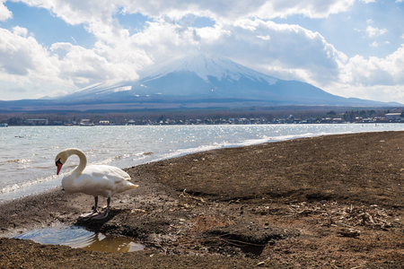 White swan in Yamanaka lake with Fuji mountain, Japan Stock Photo