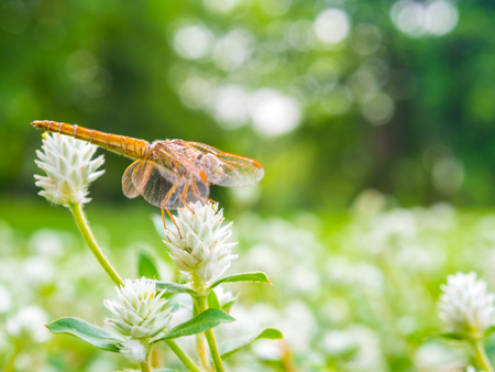 Dragonfly sitting on a white flower of grass, Vacation concept